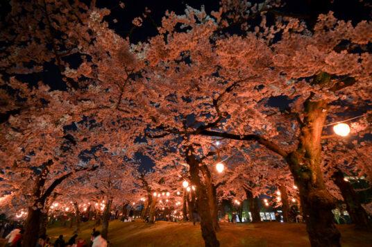五稜郭公園 夜桜花見電飾