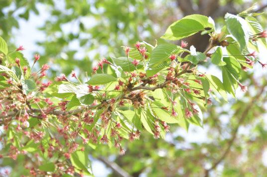 今日の五稜郭の桜 【葉桜】(5/8更新)